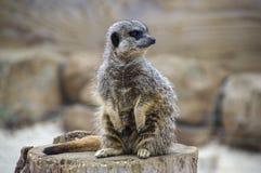 在监视的一唯一meerkat 免版税库存图片