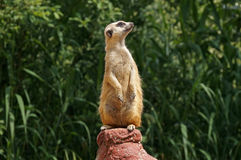 在监视的一meerkat 库存图片