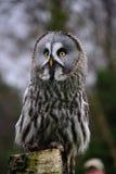 在监视的巨大灰色猫头鹰 免版税库存照片