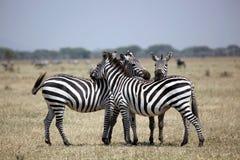 在监视的斑马在Serengeti 图库摄影