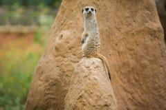 在监视的机敏的meerkat 免版税库存图片