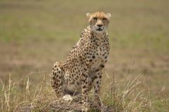 在监视的猎豹 库存图片