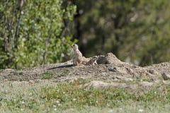 在监视的草原土拨鼠 库存图片