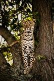 在监视的豹子。 免版税库存照片