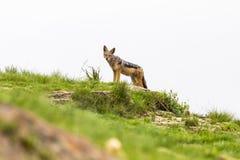 在监视的黑支持的狐狼 免版税库存图片