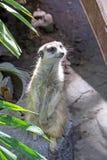 在监视的Meerkat在岩石顶部 库存照片