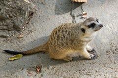 在监视的Meerkat在岩石顶部 免版税图库摄影