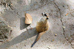 在监视的Meerkat在岩石顶部 库存图片
