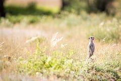在监视的Meerkat在Kgalagadi 图库摄影