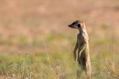 在监视的Meerkat在Kgalagadi 库存照片