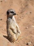 在监视的Meerkat 库存图片