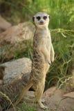 在监视的Meerkat 库存照片
