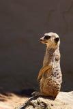 在监视的Meerkat 免版税图库摄影