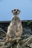 在监视的Meerkat 免版税库存图片