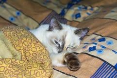在盖子下的美丽的猫在床上 免版税库存照片