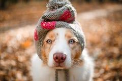 在盖帽的狗 图库摄影