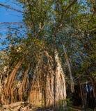 在盖帽Malheureux,毛里求斯的榕树 库存照片
