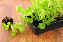 在盘子箱子的新鲜的莴苣幼木 从事园艺 免版税库存图片