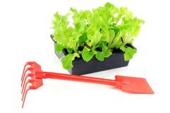 在盘子箱子的新鲜的莴苣幼木 园艺工具喜欢叉子 免版税库存图片