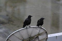 在盘的2只乌鸦 库存照片