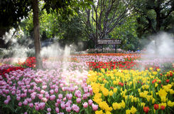 在盛大开幕式第12个清莱花节日的郁金香领域 免版税库存照片