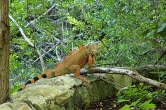 在盛大玛雅的鬣鳞蜥在墨西哥 库存照片