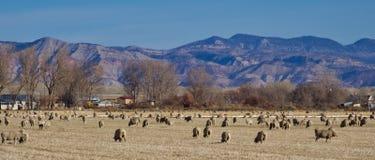 在盛大谷的绵羊 图库摄影