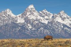 在盛大Tetons国家公园的北美野牛 库存照片