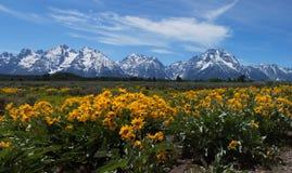 在盛大Tetons的野花 库存图片