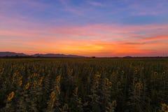 在盛开向日葵领域的剧烈的日落天空 免版税库存图片