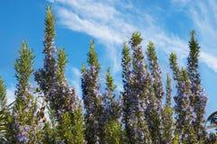 在盛开天空的罗斯玛丽的灌木与云彩在背景中 库存照片
