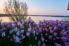 在盛开日出的桃红色花 库存照片
