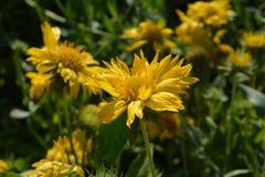 在盛开的一个向日葵 免版税图库摄影