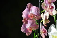 在盛开的一朵兰花花 免版税库存图片