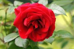 在盛开的一朵红色玫瑰 库存照片