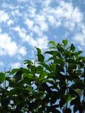 在盛开的一株桃红色牡丹 图库摄影