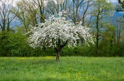在盛开的一棵苹果树在草地 库存照片