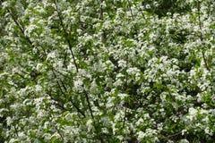 在盛开的一棵鸟樱桃树在春天 免版税库存图片