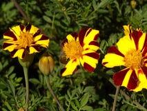 在盛开的三朵丑角万寿菊花 免版税图库摄影