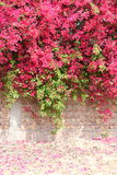 在盛开的五颜六色的九重葛在混凝土和砖墙 免版税库存图片