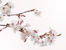 在盛开的吉野樱桃树在天空背景中 库存图片
