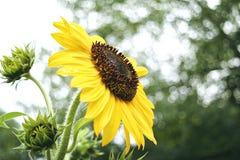 在盛开的向日葵 免版税库存图片