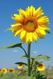 在盛开的向日葵 库存图片