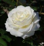在盛开的唯一白色玫瑰开花与绿色叶子 库存图片