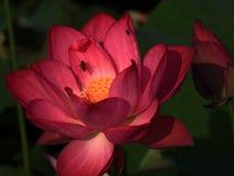 在盛开的夏天莲花, 库存照片