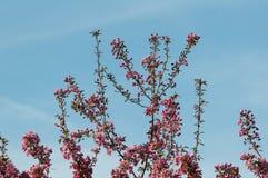 在盛开的山楂子树 免版税图库摄影