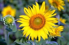 在盛开的成人向日葵 库存照片