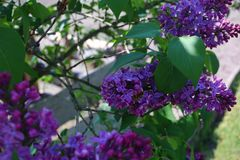 在盛开的接骨木浆果树 库存照片