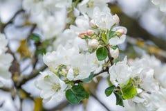 在盛开的新的春季苹果树分支与桃红色和白花 免版税库存照片
