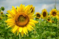 在盛开的明亮的黄色向日葵 库存图片